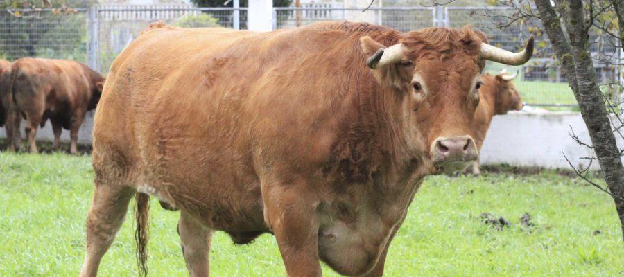 Vaca E Boi De Galicia